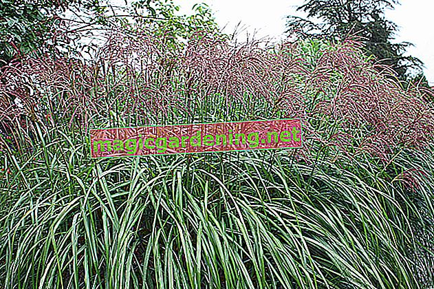 Ornamental grass as a privacy screen: tall species and care