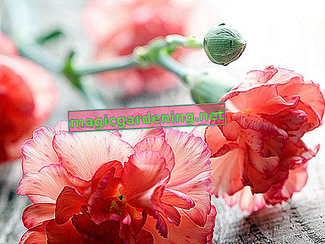 """Perennial carnation """"Pink Kisses"""" - information and tips on care"""