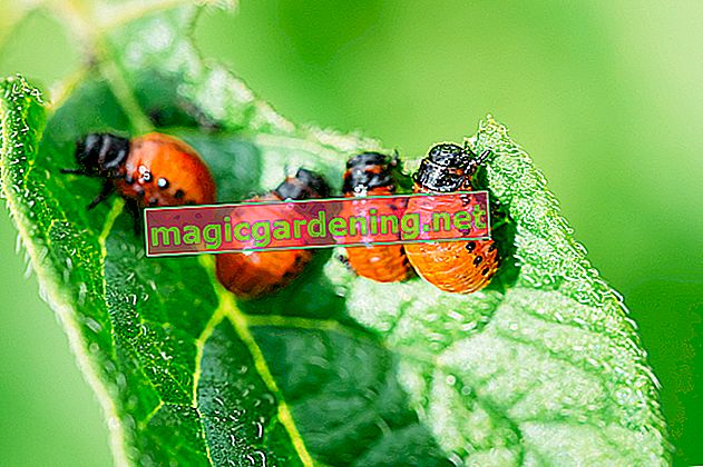 Control climbing plants in the garden successfully