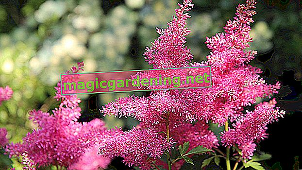 Plant and care for astilbe