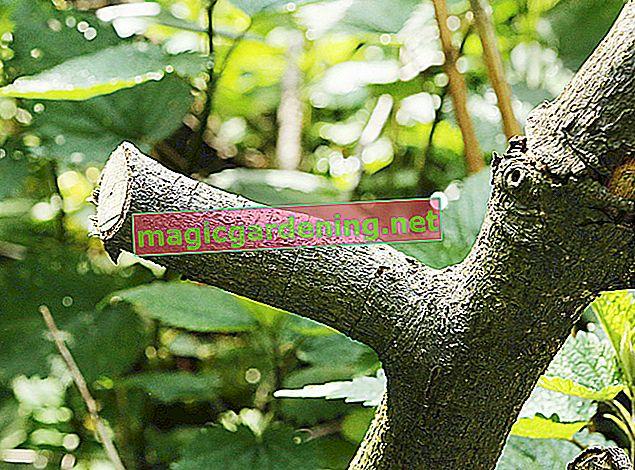 Kiraz ağacını verimli bir şekilde budamak - tüm talimatlarla öğretici