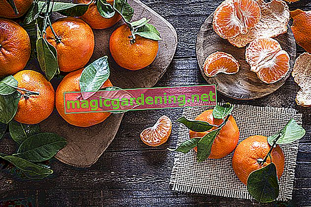 What is the difference between mandarin and clementine?