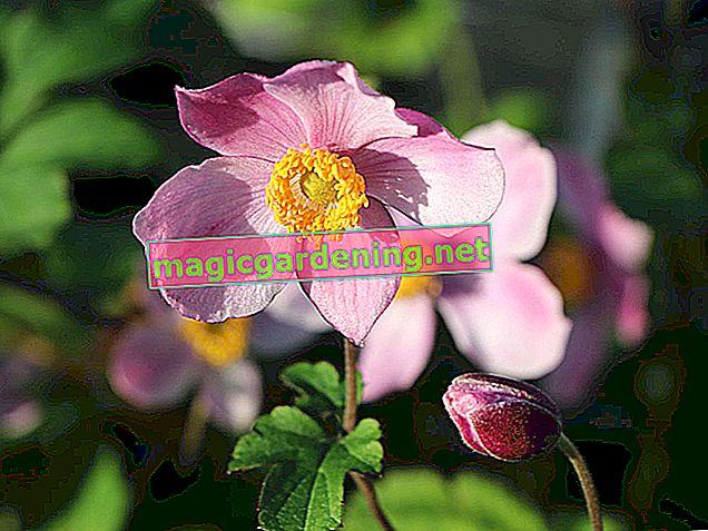 Autumn anemones - the right location for abundant flowering