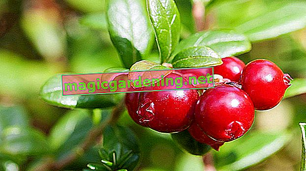 Cranberries are extremely undemanding plants