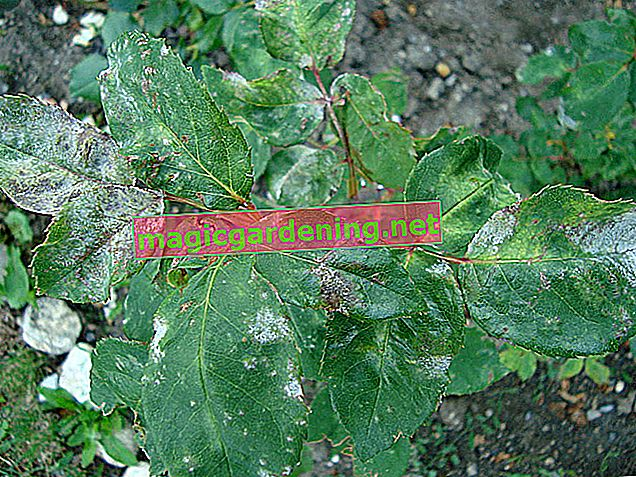 Fight powdery mildew on roses
