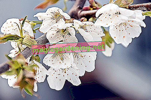Ceviz ağacındaki çiçek - bilmeniz gereken her şey