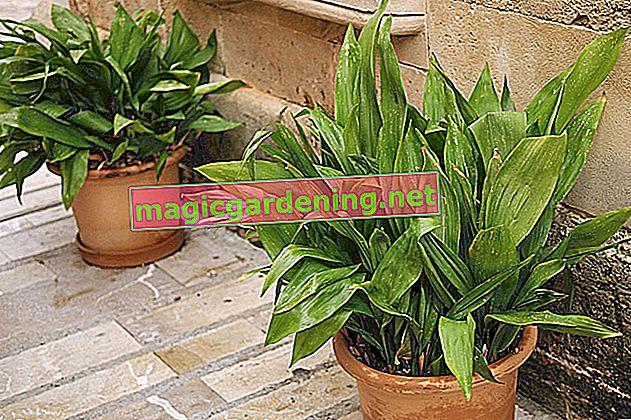 Cobbler palm