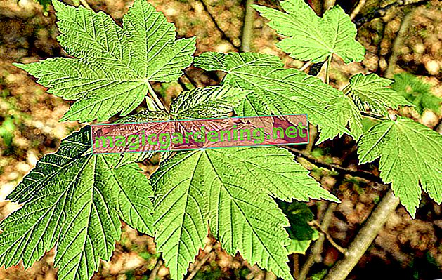 Norway maple in profile - important features at a glance