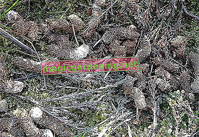 Identify and remove raccoon droppings