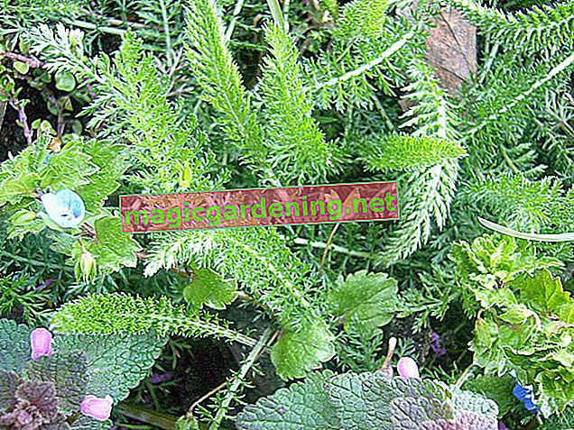 Yarrow in the lawn - means of control