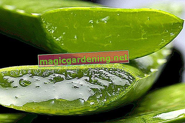 Aloe vera can be eaten