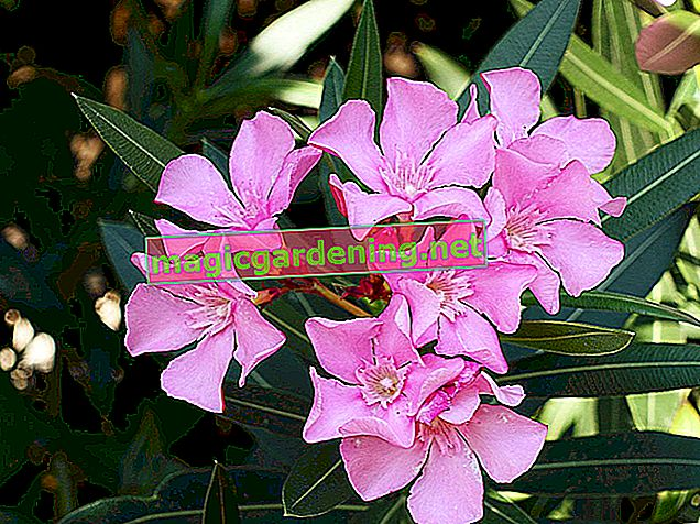 Oleander in the garden prefers a sunny location