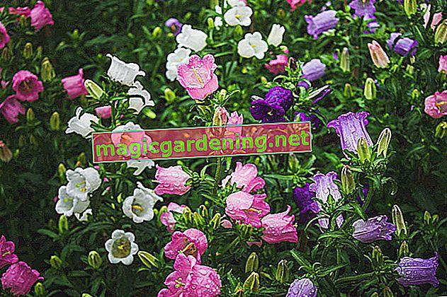 Зріжте дзвіночок на більш тривалі періоди цвітіння