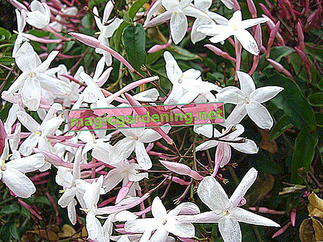 Prendre soin du vrai jasmin (Jasminum officinale)