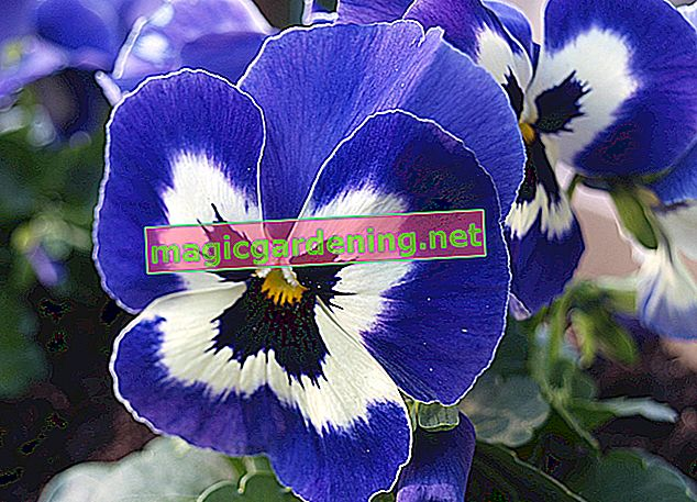 Pansies belong to the genus of violets