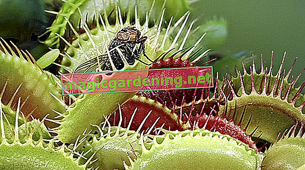 Important information on the care of the Venus flytrap