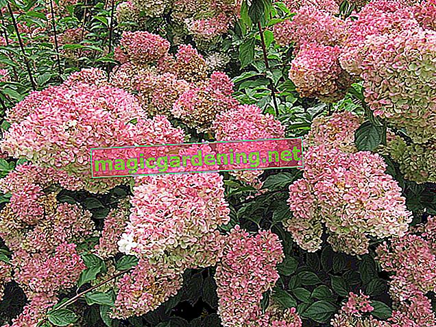 Coloring hydrangeas purple or pink - how does it work?