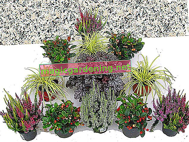 Which succulents are hardy? - Tips for wintering