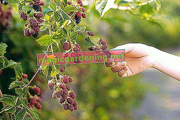 Pick blackberries properly