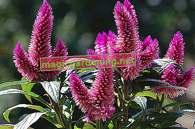 Is the Celosia caracas poisonous?