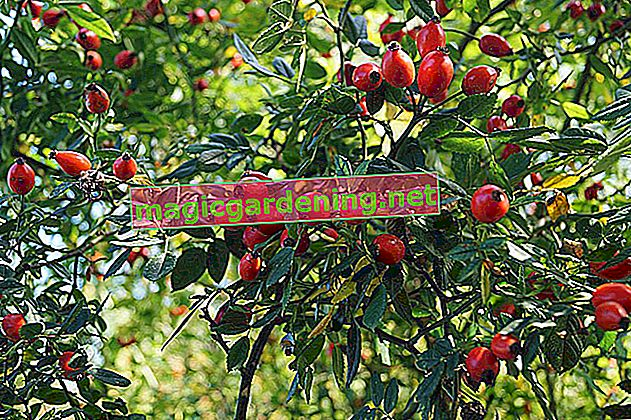 Time to educate: is the rose hip poisonous?
