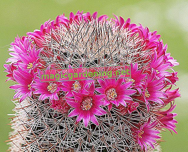 Mammillaria: characteristics and care