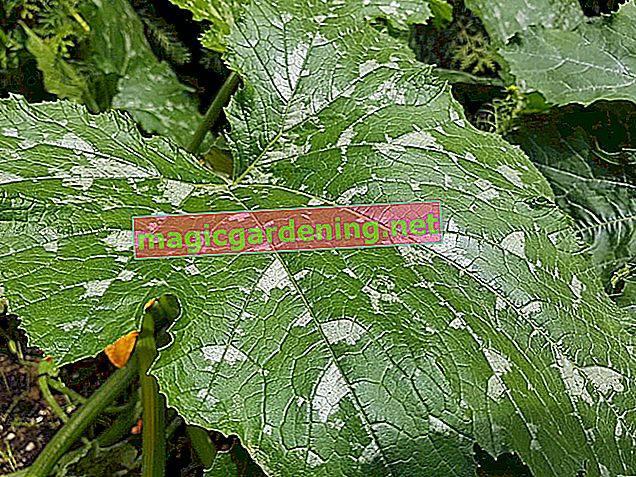 Fight powdery mildew on mint with natural means
