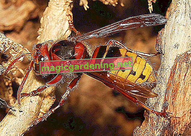 Crni stršljen - insekt koji zavarava