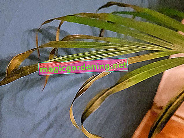 Why does the golden fruit palm get brown leaf tips?