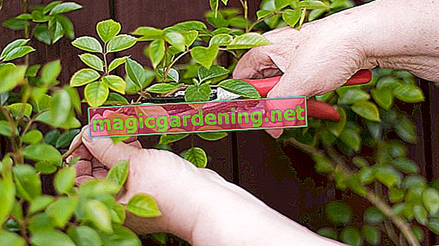 Cotoneaster: planting and caring for