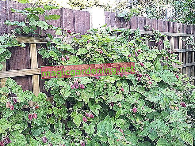 Cut summer raspberries correctly