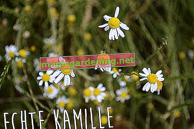 How to recognize real chamomile
