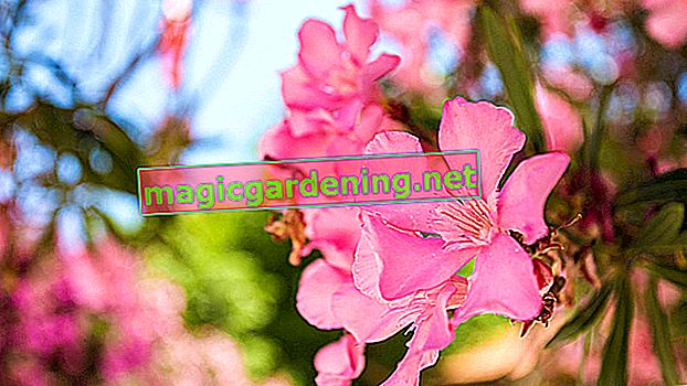 It is better not to plant oleanders in the open air
