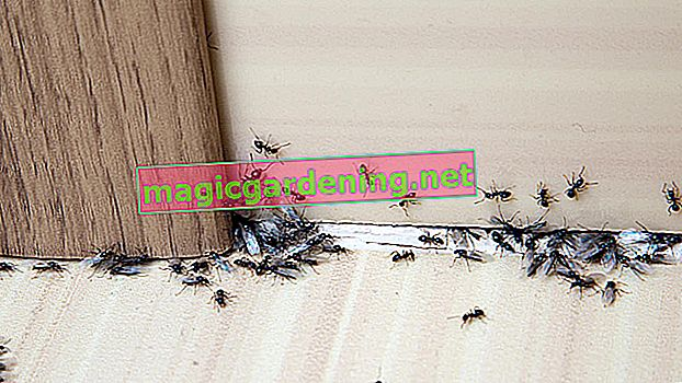 What ants nest in the house - determination and help