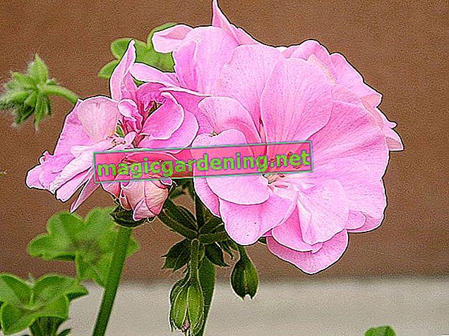 Are geraniums poisonous?