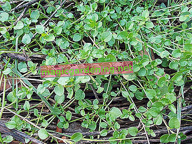 Chickweed - these are the characteristics that you can recognize as weeds