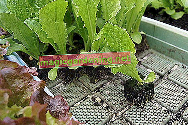 Grow or buy beech seedlings