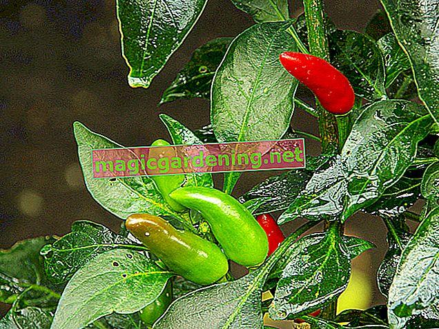 Gdje i kako paprika može sigurno prezimiti?
