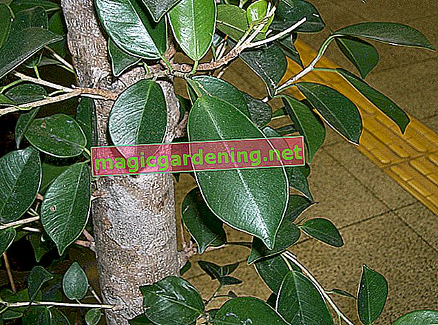 Fertilizing Ficus benjamini - this is how it works