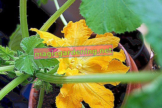 Planter des radis - c'est ainsi que cela fonctionne dans le jardin et sur le balcon