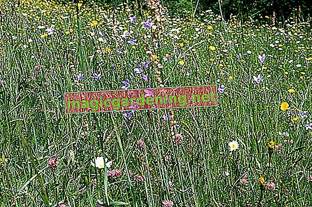 Bahçedeki Klee: çayır yoncasının kısa bir profili