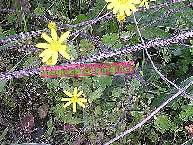 The ragwort - also dangerous for humans
