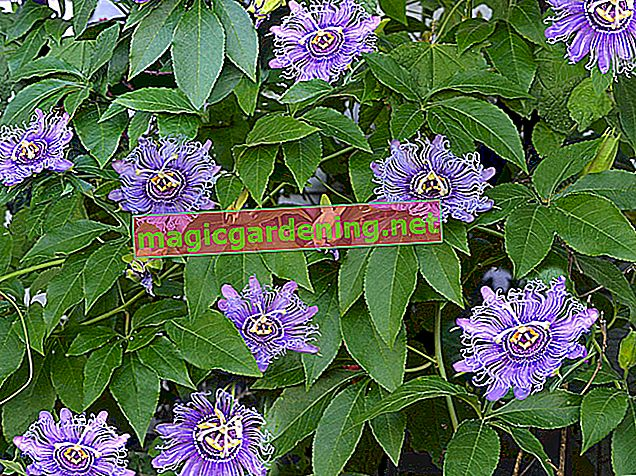 Passion flower - pruning before overwintering is not absolutely necessary