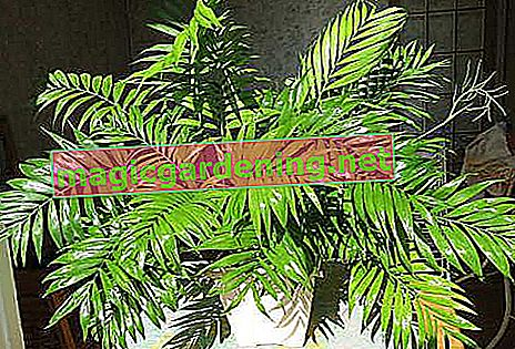 Mountain palm: care and varieties