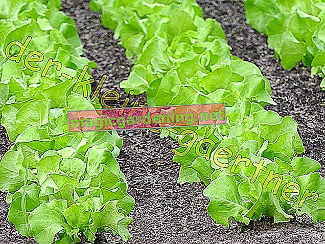 Посів салату: Безпосередньо на відкритому повітрі або в лотках для насіння