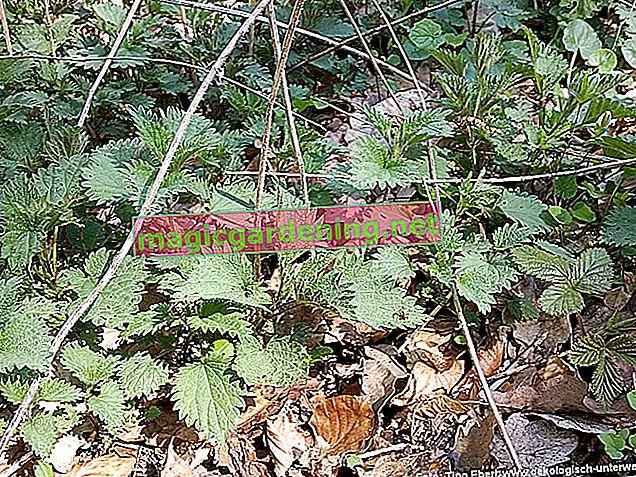 Divlji češnjak kao sezonska biljka: očuvanje smrzavanjem