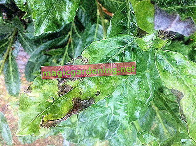Combattre l'oïdium dans le laurier cerise de manière écologique