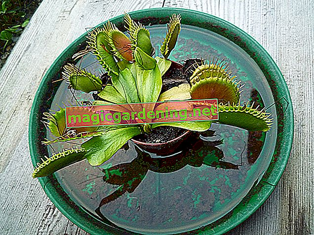 The Venus flytrap turns black - why is that?