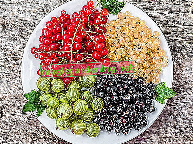 Harvesting currants - this is how you pick the delicious berries