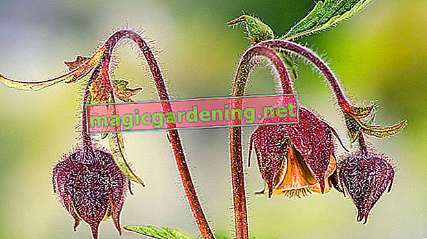 The confusion of sorrel with other plant species